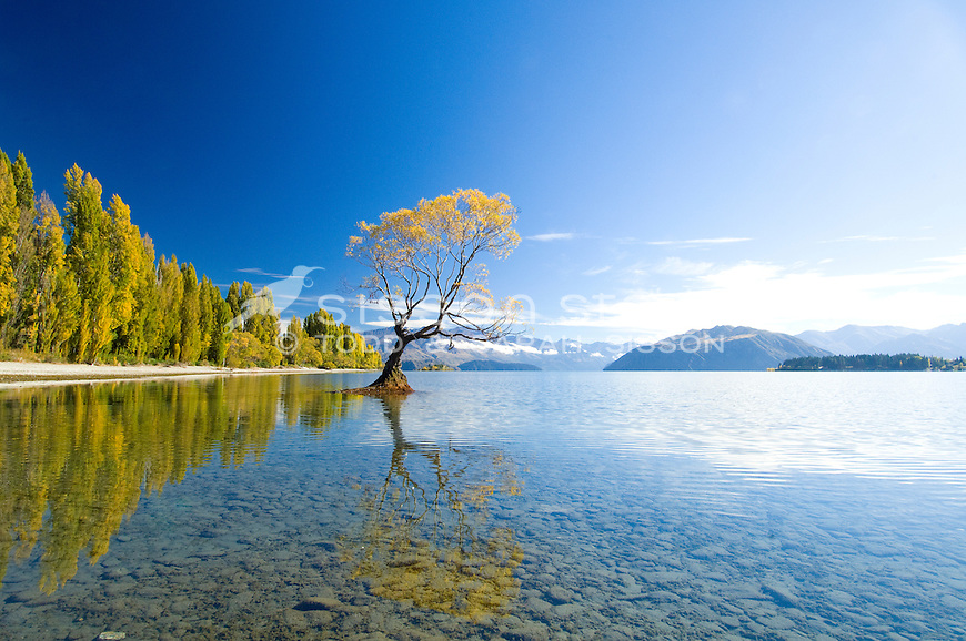 Premium Stock Photo | Willow tree and poplars refected in Lake Wanaka, South Island, New Zealand<br /> <br /> SORRY - NO NEW ZEALAND SOUVENIR OR POSTCARD LICENCING PERMITTED