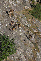 Mouflon/Ovis musimon/females and juveniles/Parc naturel regional du Haut-Languedoc/Caroux/France
