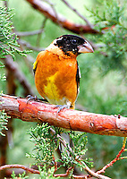 Adult male black-headed grosbeak