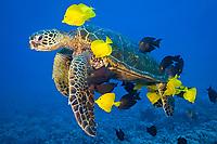 green sea turtle, Chelonia mydas, being cleaned by tropical reef fish, Kona, Big Island, Hawaii, USA, Pacific Ocean