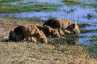 Young LIONS (Panthera Leo) drink in the warm afternoon sun - MOREMI GAME RESERVE, OKAVANGO DELTA, BOTSWANA