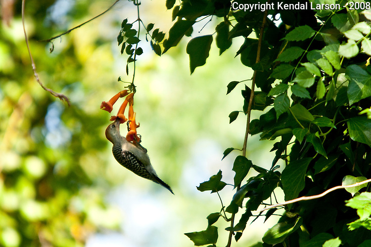 A yellowbellow woodpecker feeds on nectar.