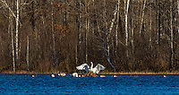 Trumpeter swans on a wilderness lake in northern Wisconsin