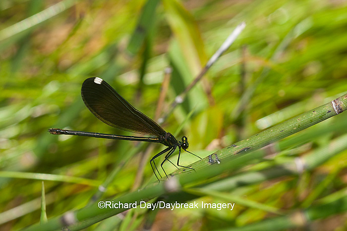 06014-003.06 Ebony Jewelwing Damselfly (Calopteryx maculata) female in stream, MO