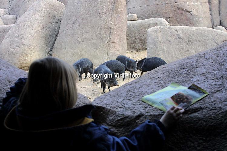 Foto: VidiPhoto..ARNHEM - Burgers Dierenpark in Arnhem blijft voorlopig open, aldus een woordvoerder van het park. Wel zijn er extra maatregelen getroffen. Zo moeten bezoekers over een ontsmettingsmat naar binnen en worden mond- en klauwzeer gevoelige dieren op verre afstand van het publiek gehouden. Foto: De varkens in de Dessert bevinden zich op voldoende afstand van de bezoekers.