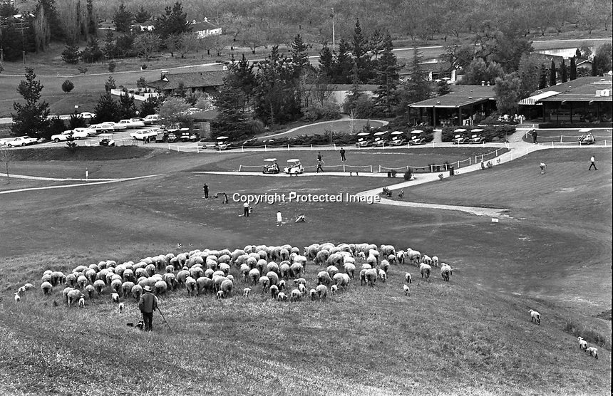 Sheep graze above Round Hill Country Club driving range and Club House. (1968 photo by Ron Riesterer)