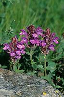 Alpen-Helmkraut, Alpenhelmkraut, Scutellaria alpina, Alpine skullcap, Scutellaire des Alpes