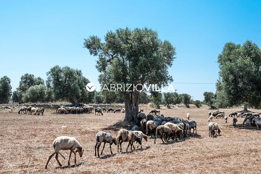 Alberi di ulivi e greggi di pecore in Puglia