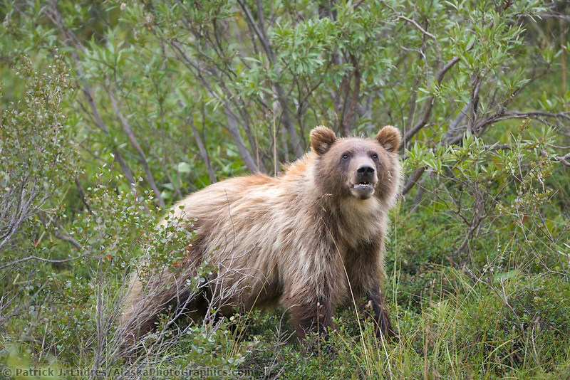 Sub adult grizzly bear on the tundra, Sable Pass, Denali National Park, Alaska