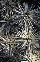 Europe/Espagne/Canaries/Lanzarote/Guatiza : Le jardin de cactus conçu par Cesar Manrique - Cylindropunna tunicata