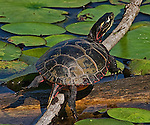 A painted turtle balances on a branch in a swamp.