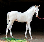 White Bliss (white Standardbred) at Fair Winds Farm in 2012