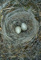 Bachstelze, Bach-Stelze, Nest, Gelege mit Ei, Eiern, Motacilla alba, pied wagtail, pied white wagtail