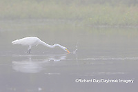 00688-02420 Great Egret (Ardea alba) feeding in wetland in fog, Marion Co., IL