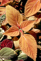 Solenostemon Coleus 'Buckskin Pride' & variegated Plectranthus. Annual foliage plant in salmony-beige leaf colors