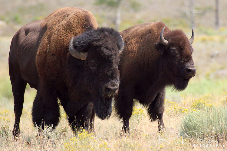 A pair of Yellowstone bison graze in the Lamar Valley of Yellowstone Park.  There are an estimated 1500-1700 bison in Yellowstone's herd. An adult bull bison may be six feet tall at the shoulder and weigh 2,000 pounds. Photographed 08/06
