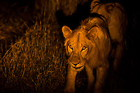 Female lion on the move at night, Kwando Concession, Linyanti Marshes, Botswana.