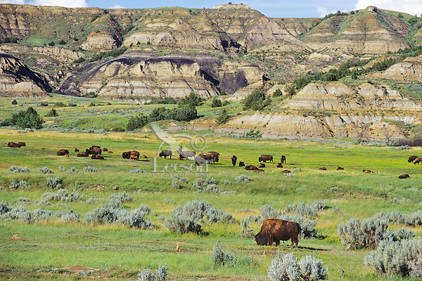 "American Bison herd in ""badlands"" of Theodore Roosevelt National Park, North Dakota.  Summer."