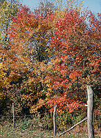 FALL FOLIAGE: WESTERN MASSACHUSETTS<br /> Oak &amp; Maple Leaves Are Brilliant Gold And Scarlet<br /> In the autumn, trees stop photosynthesis. As the green chlorophyll disappears from the leaves, yellow, orange and red become visible.