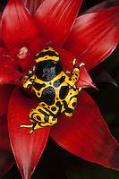 Orange banded dart frog  Dendrobates leucomelas, Venezuela