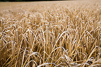 Propino spring barley in ear ready for harvest - August, Lincolnshire