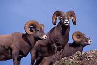 Three Rocky Mountain Bighorn Sheep Rams (Ovis canadensis), Jasper National Park, Canadian Rockies, AB, Alberta, Canada