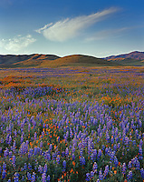 Carrizo Plain National Mounment, CA<br /> Desert field of lupine (L. bicolor) with poppies (Eschscholtzia californica) under the Caliente Mountains in early morning