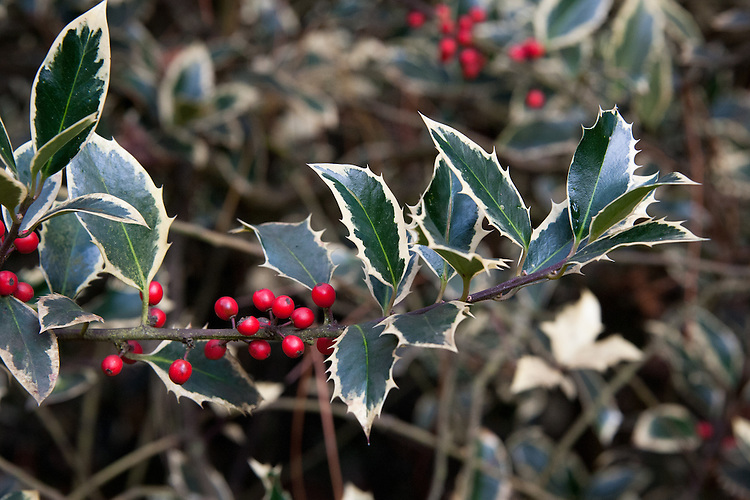 Ilex aquifolium 'Handsworth New Silver', early November. A holly with deep green leaves that have broad creamy-white margins, contrasting with purplish stems. Red berries in autumn.