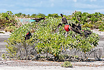 The Great Frigatebird on Kiritimati, Kiribati