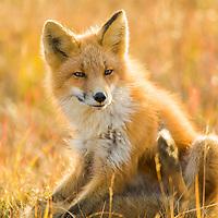 Red fox in the autumn grasses of wetlands on the Seward Peninsula, western arctic, Alaska.