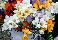 Bulbs mixture of colors picked in rustic ceramic vase jug Freesias cut flower arrangement