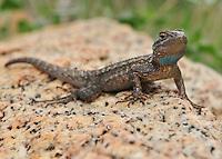 Western Fence Lizard<br /> Sceloporus occidentalis<br /> San Diego.