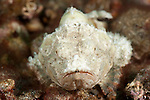 Humpback / Devil scorpionfish (Scorpaenopsis diabolus) in the rubble.