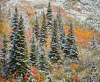 Mount Baker-Snoqualmie National Forest, WA: Fresh snow on a hillside with firs and fall colored shrubs