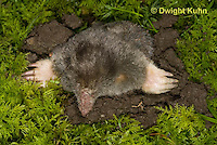MB25-509z Hairy-tailed Mole making an entrance to its tunnel, Parascalops breweri