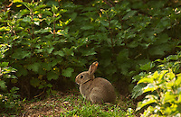 A young European Rabbit (Oryctolagus cuniculus)finds refuge amongst nettles.