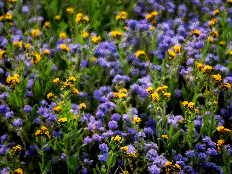 Close up of Devil's Lettuce or Fiddleneck (Amsinckia tessellata), and purple Fremont's Phacelia (Pacelia fremontii).Carrizo Plain National Monument, California