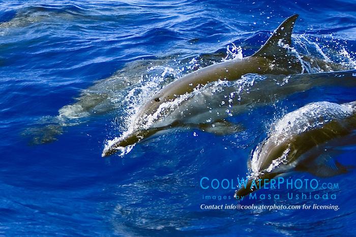 Hawaiian spinner dolphins, Stenella longirostris longirostris, wave-riding, Kona Coast, Big Island, Hawaii, Pacific Ocean