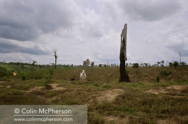 A lone cow standing in an area of former rainforest cleared and burned to make way for agriculture on the banks of the Tapajos river, adjacent to a protected reserve. The Floresta Nacional do Tapajos (FLONA), a 6500 km2 protected reserve, was home to several small communities which lived on the banks of the Rio Tapajos river. The rainforest was cleared to make way for cattle ranching and growing soy beans for export.