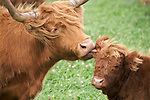 Heartland - Highland Cattle
