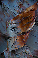 Birch Bark Detail, Castine, Maine, US
