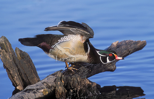 Wood Duck drake stretching wings.. British Columbia, Canada..(Aix sponsa).