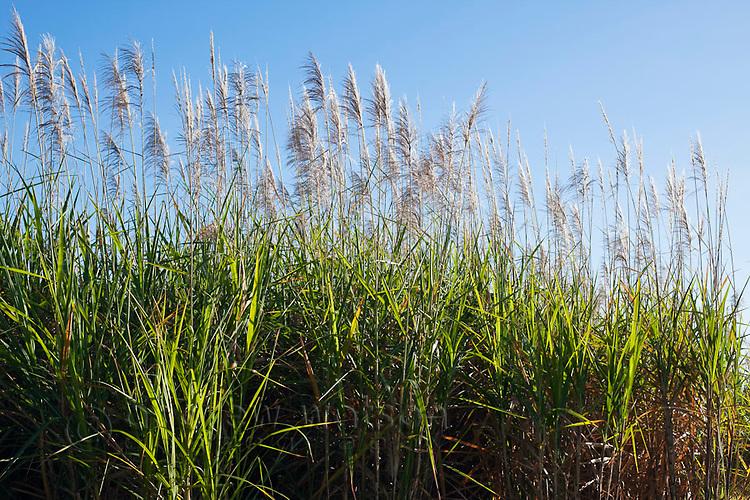 Sugar cane field near, Cairns, Queensland, Australia