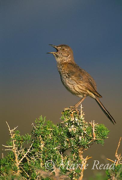 Sage Thrasher (Oreoscoptes montanus) singing, Mono Lake Basin, California, USA<br /> Slide # B135401