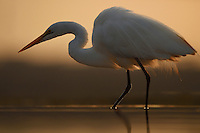 Great White Egret, Egretta or Ardea alba, Zimanga Private Nature Reserve, KwaZulu Natal, South Africa