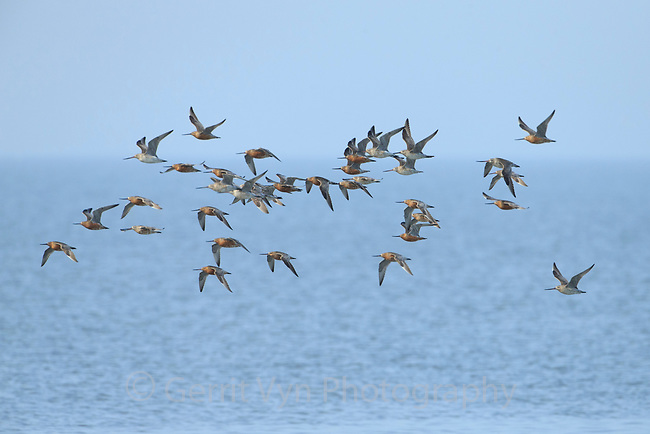 Migratory Bar-tailed Godwits (Limosa lapponica) of the Alaskan breeding L. l. baueri race returning to their hide roost at the most critical stopover site at teh industrailized Yalu Estuary in China's Yellow Sea. This location is critical for godwits as they migrate from New Zealand to Alaska each year. Yalu Jiang, China. April.