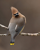 Cedar Waxwing in winter.