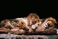 African lions sleeping on a log, San Diego Zoo