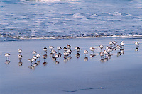 Sanderlings<br />