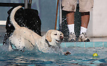 Gauge enjoys the third annual Pooch Plunge at the Carson Aquatic Facility in Carson City, Nev., on Saturday, Sept. 17, 2011. The event, which raises money for Parks 4 Paws, continues Sunday with sessions at 9 a.m., 11 a.m. and 1 p.m..Photo by Cathleen Allison
